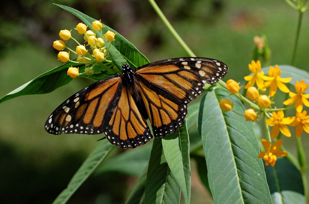 Monarch_Butterfly_Danaus_plexippus_on_Milkweed_Hybrid_2800px (1)