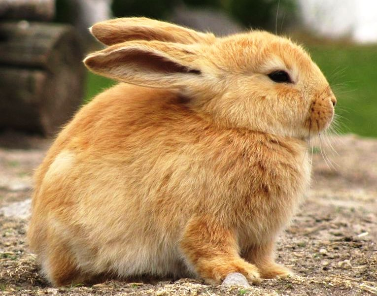 800px-Bunny_in_zoo_cropped
