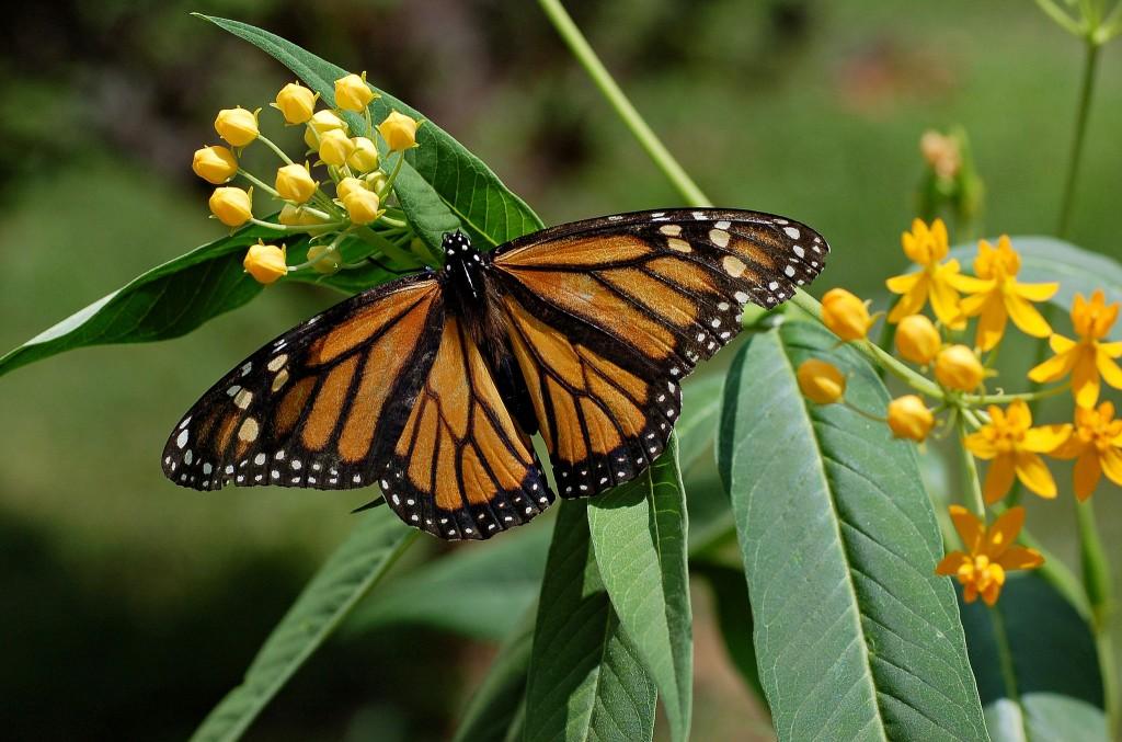 Monarch_Butterfly_Danaus_plexippus_on_Milkweed_Hybrid_2800px (1)